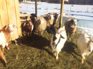 Olde Haven Goats and Sheep Jan